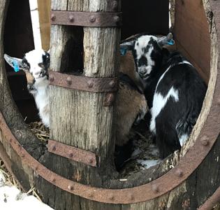 Pygmy Goats at Mountfitchet Castle