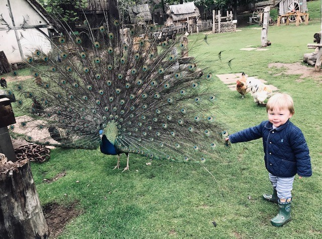 Peacock at the castle